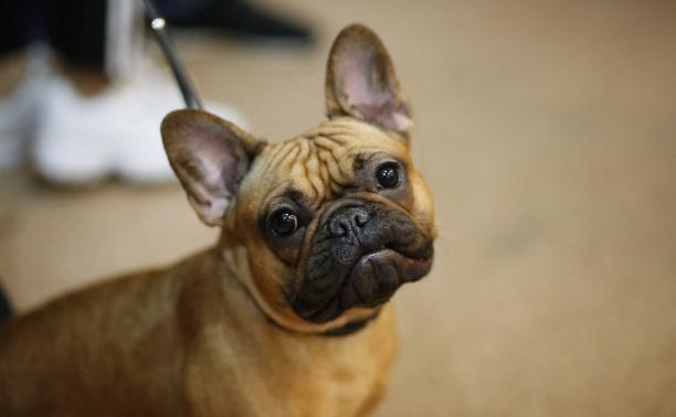 Французский бульдог, алабай и акита-ину: В Туле прошла выставка собак