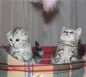 В Туле прошла международная выставка кошек