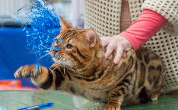 Выставка кошек в Туле: красавцы бенгалы, гордые мейн-куны и милые шотландцы