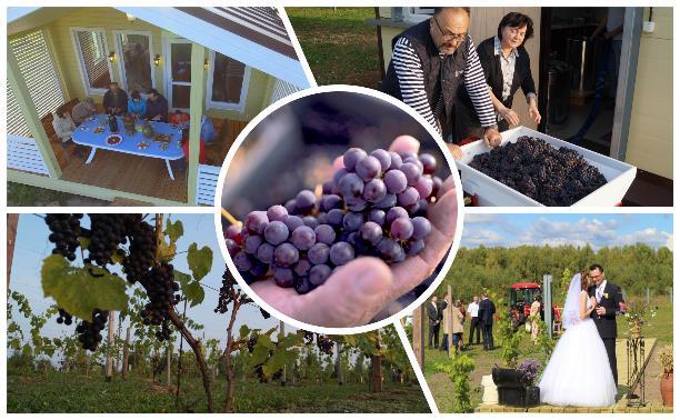 Виноград с южных склонов Дубны: как работает необычная семейная ферма в Тульской области