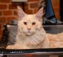 Выставка кошек в Туле: красавцы мейн-куны, милые бамбино и гордые сфинксы