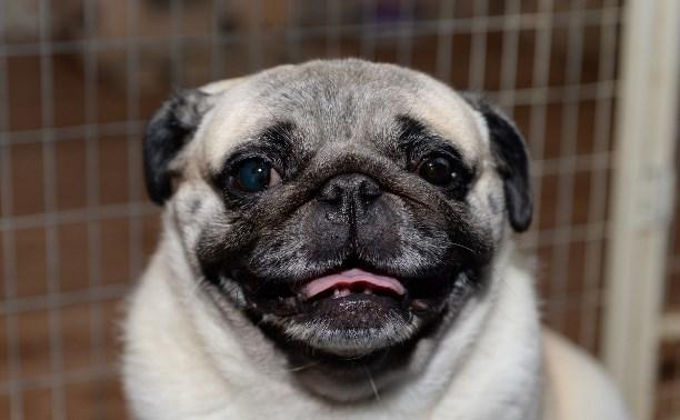 Выставка собак DoggyLand: забавные мопсы, милые йорки и красавцы папильоны