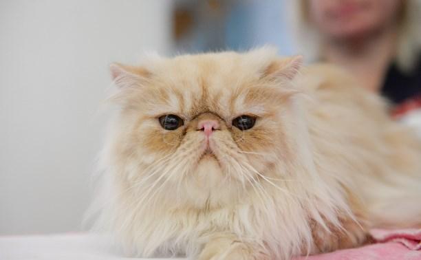Выставка кошек в Туле: персы, ориенталы и ангоры