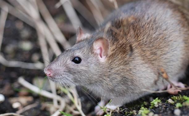 Туляков травят крысиным мясом из Китая