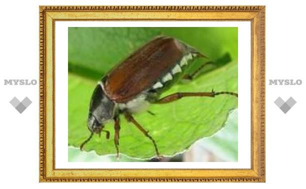 Майские жуки на тульских улицах