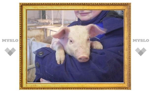 В Тульской области подозревают африканскую чуму свиней