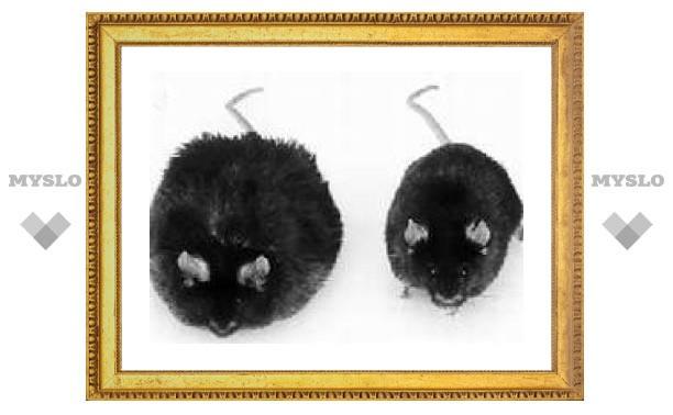 Сверхжирные мыши не боятся диабета