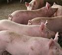 На свиноферме в Ленинском районе найдены грубейшие санитарные нарушения