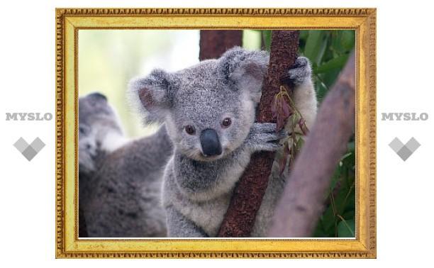 Австралийским коалам предсказали скорую гибель