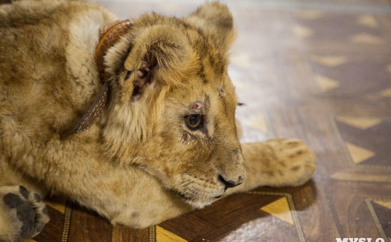 Организаторов зоовыставки, где показывали изможденного львенка, оштрафовали