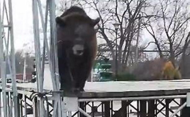 Туляки обсуждают привязанного к сцене медвежонка-«промоутера»