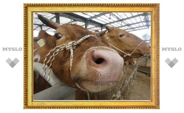 Тульская молодежь подоит татарских коров