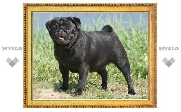 На Всероссийской выставке собак в Туле победил мопс Ламми