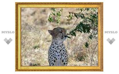 Иранских гепардов оснастили GPS-навигаторами