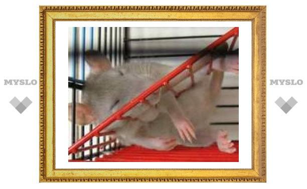 В Туле найдено Крысиное царство!