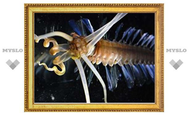 Ученые поймали кальмарочервя