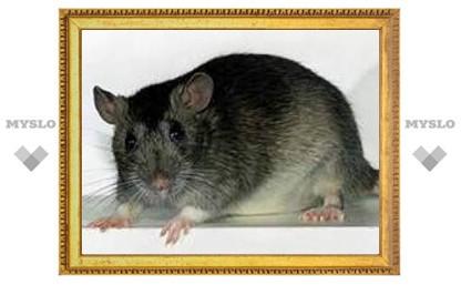 В Туле нашествие крыс?