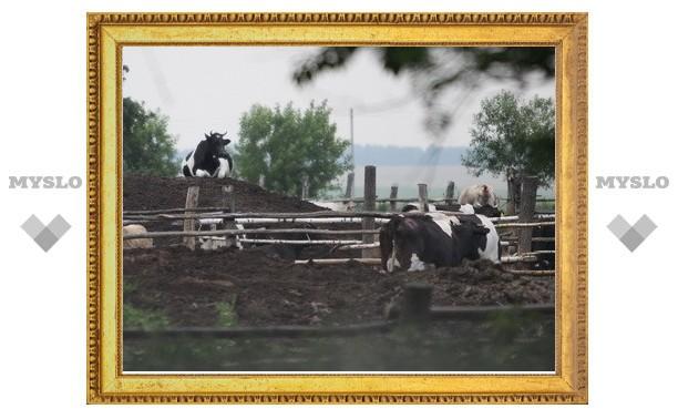 Зараженные сибирской язвой коровы не контактировали со стадом