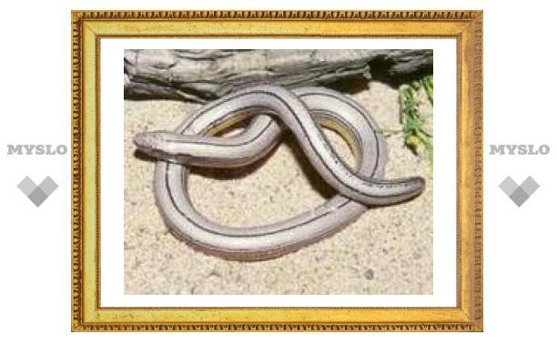 В Индии обнаружен неизвестный вид безногой ящерицы