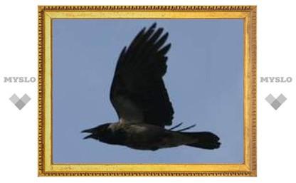 В Туле ворона охотится на людей