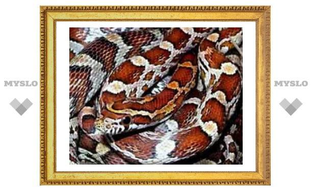 В центре Тулы поймана гигантская змея