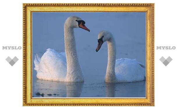 "Пара британских лебедей решилась на ""развод"""