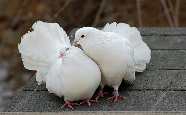 Ефремовец украл 15 голубей, чтобы красиво признаться в любви