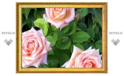 Под Тулой выращивают розы для всей страны