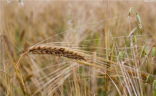 В России официально разрешена посадка ГМО-зерновых