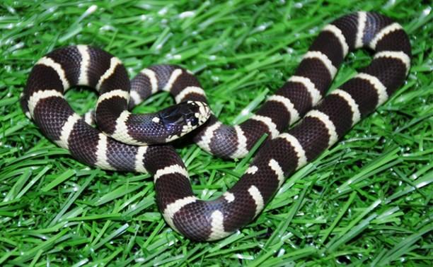 В Тульском экзотариуме выбрали самого симпатичного змееныша