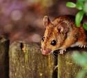 В Тульской области резко выросло число заболевших мышиной лихорадкой