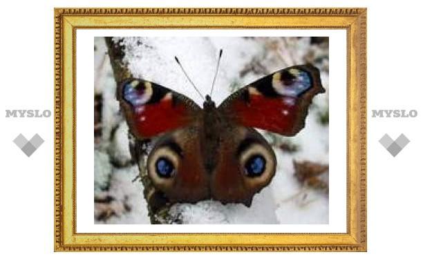 Зимнее чудо - порхающие бабочки