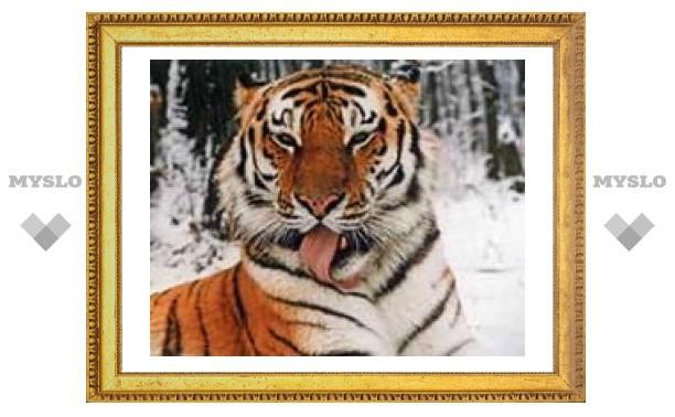 Каспийского тигра выведут на Амуре