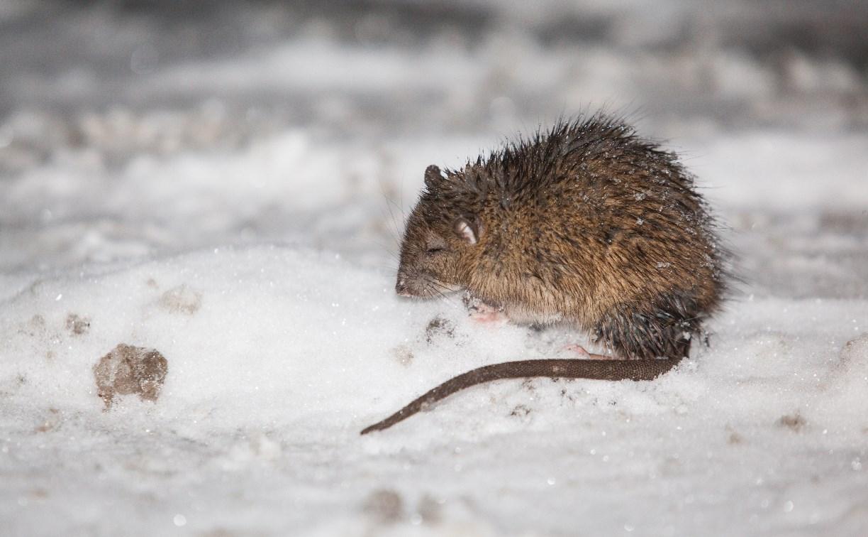 Тулу атакуют крысы!