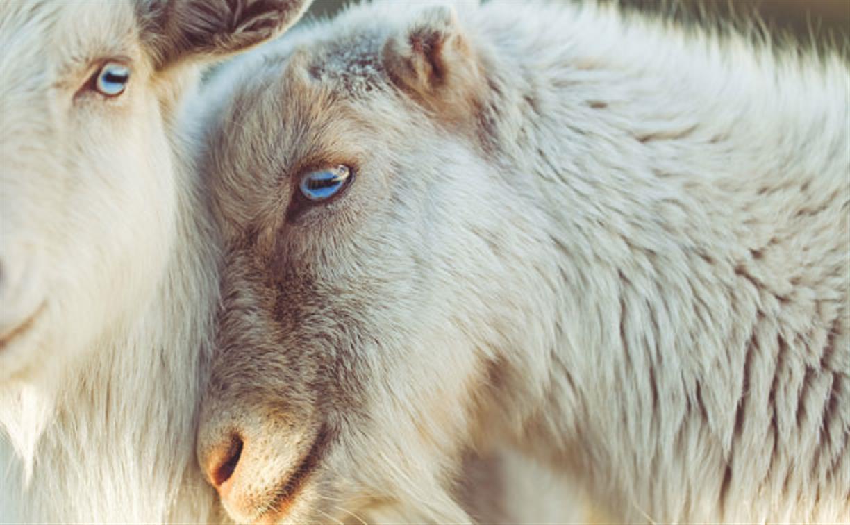 В Тульской области задержаны серийные похитители овец и баранов