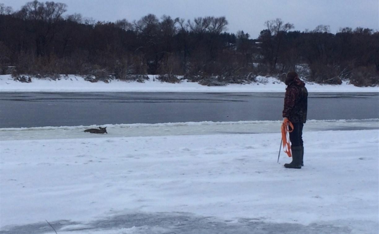 В Алексине спасатели вызволили косулю из ледяного плена