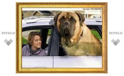 Угонщик не заметил на заднем сиденье автомобиля огромную собаку