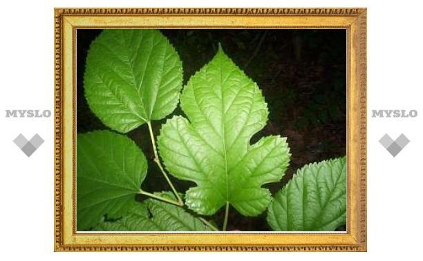 iPhone научили определять вид дерева по его листьям