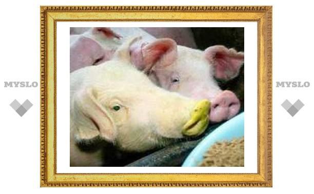 Грузинские свиньи вымирают от африканской чумы