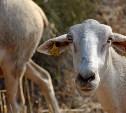 В Тульской области зафиксирована вспышка оспы овец