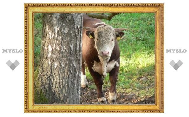 Под Тулой бык поднял пастуха на рога