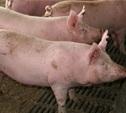 В 11 охотхозяйствах Тульской области объявлен карантин по АЧС
