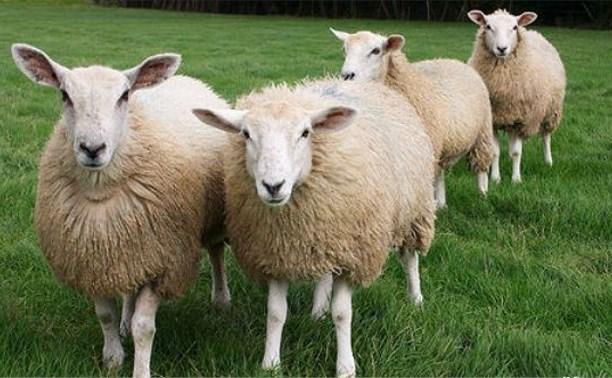 В Узловском районе полицейские задержали похитителя овец
