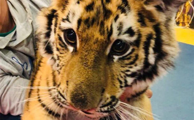 В Туле в контактном зоопарке издеваются над тигренком: видео