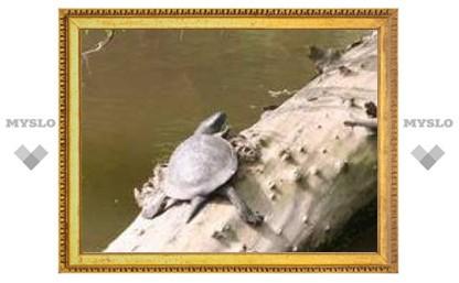 В тульских водоемах селятся черепахи
