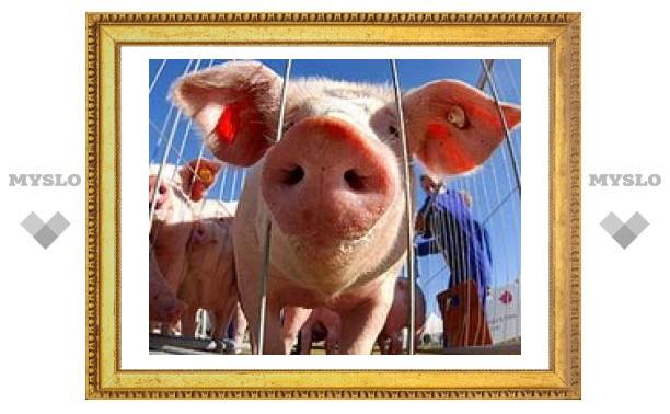 Тулякам безопасно есть свинину