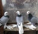 За кражу 15 голубей романтик отработает 200 часов