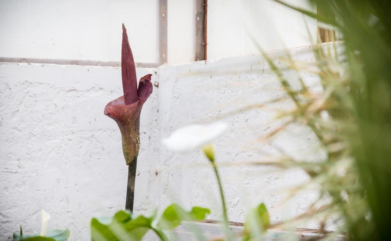 В Ясной Поляне зацвел «трупный цветок»