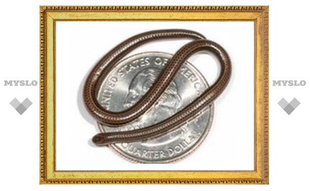 Самую маленькую в мире змею нашли на Барбадосе