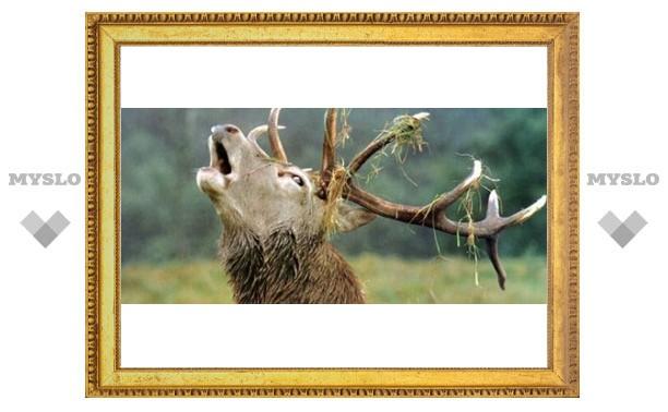 Под Тулой живет особенный олень